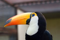 Toucans. Ramphastidae Stock Photos