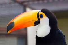 toucans ramphastidae Стоковое фото RF