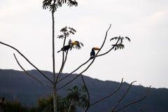 Toucans - Tiradentes, Minas Gerais, Brazil. Toucans on a tree in the forests of Tiradentes, Minas Gerais, Brazil stock photos