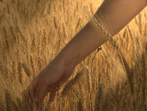 Touch. An emotional moment by touching the wheat royalty free stock images