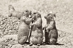 Touch. Three Prairie Dogs in focus standing upright,  one Prairie Dog is touching another's face in an affectionate manner.  Picture is done in  sepia Stock Photos