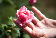 Touch av en rose royaltyfri bild