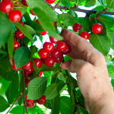 Touch the cherry. Stock Photography