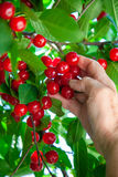Touch the cherry. Stock Images
