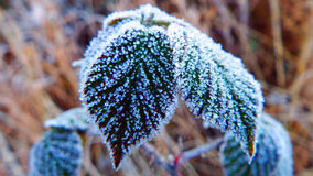 A touch of frost Stock Photography