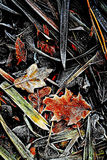A Touch of Frost 5 - Scotland. Frosted foliage & undergrowth in a Scttish winter Royalty Free Stock Photos
