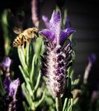 A Touch of Lavender. A bee during spring time, collecting nectar from lavender. The beauty of small things in nature stock photos