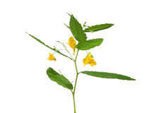 Touch-me-not Balsam (Impatiens Noli-tangere) Stock Image