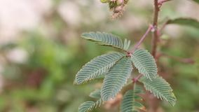 Touch me not plant. Mimosa pudica or Touch me not plant stock video