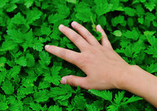 Touch motherwort herb Royalty Free Stock Photo