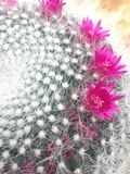 Touch of pink. Cactus flower in Botanic garden , Chaing Mai Thailand Royalty Free Stock Images