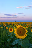 A touch of Pink Sky on a Colorado Sunflower field Royalty Free Stock Images