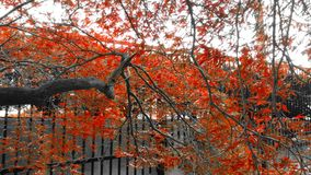 A touch of red. A tree in the courtyard at work Stock Photography