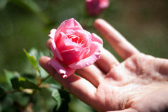 Touch of a rose. Delicate touch of a small pink rosebud Royalty Free Stock Image