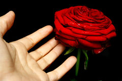 Touch a rose Stock Images