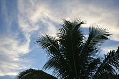 Touch the sky. Tropical tree against sky Royalty Free Stock Image