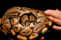 Touch the snake. Royal python on animal show. Royalty Free Stock Photo