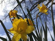 A Touch Of Springtime Daffodils Stock Image