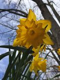 A Touch Of Springtime Daffodils - Up Close Stock Photography
