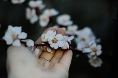 Touch to nature, palm touches the flowers of the cherry tree stock photo
