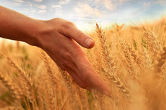 Touch of wheat ear. Woman's hand touch wheat ears at sunset Stock Photography