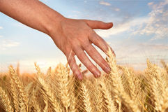 Touch of wheat ear Royalty Free Stock Photo
