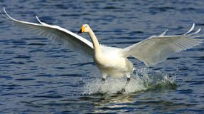 Touchdown. A Whooper swan comes into land on a pond at the Wildfowl and Wetland Trust Reserve at Caerlaverock in South West Scotland, UK. These migratory swans stock photo