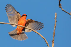 Touchdown. Vermillion Flycatcher landing in the late afternoon sun Royalty Free Stock Image