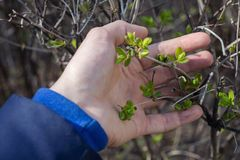 A man`s hand holds the first fresh spring leaves royalty free stock photo