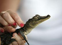 Touching Baby alligator Stock Image