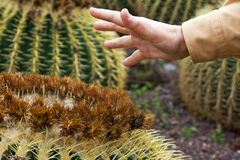Touching cactus Royalty Free Stock Image
