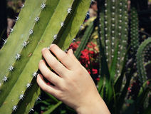 Touching Cactus Stock Photography