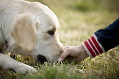 Touching the dog. Hand touching Golden retriever in the park Royalty Free Stock Photo
