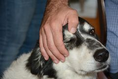 Touching dog head Stock Photo