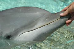 Touching a dolphin Royalty Free Stock Images