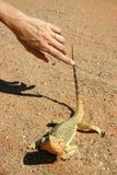 Touching the Frill Neck Lizard Royalty Free Stock Photography