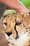 Touching the head of a Chitah Royalty Free Stock Image