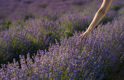 Touching the lavender Stock Image