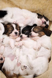 Touching little dogs sleeping Royalty Free Stock Photos