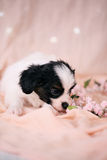 Touching Puppy on a pink background Stock Image