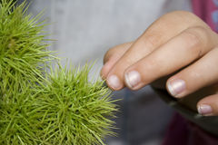 Touching round cactus Royalty Free Stock Image