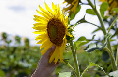 Touching the sunflower petals Royalty Free Stock Images