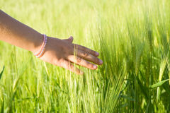 Touching wheat Royalty Free Stock Photo