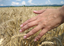 Touching the wheat Royalty Free Stock Photo