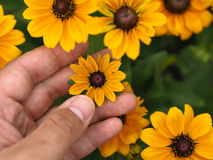 Touching a Yellow Flower. Touching a beautiful little yellow flower Stock Images