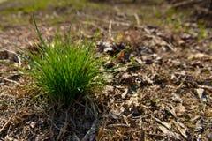 Touffe d'herbe pendant l'automne Photos libres de droits