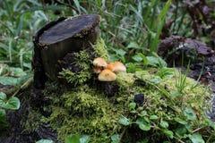 Touffe de soufre - fasciculare de Hypholoma Images stock