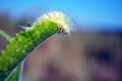 Touffe pâle de pudibunda de Calliteara ou chenille pelucheuse jaune de meriansborstel rampant sur la feuille verte, fond de paysa photos libres de droits