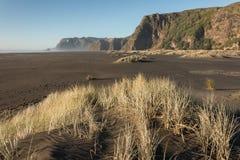 Touffe s'élevant sur le sable volcanique chez Karekare Image stock