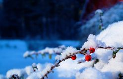 Tough Berries. It was especially cold, yes minus fifteen degrees at one point. The scenery so beautiful but white and only white. That's when I discovered these Royalty Free Stock Photography